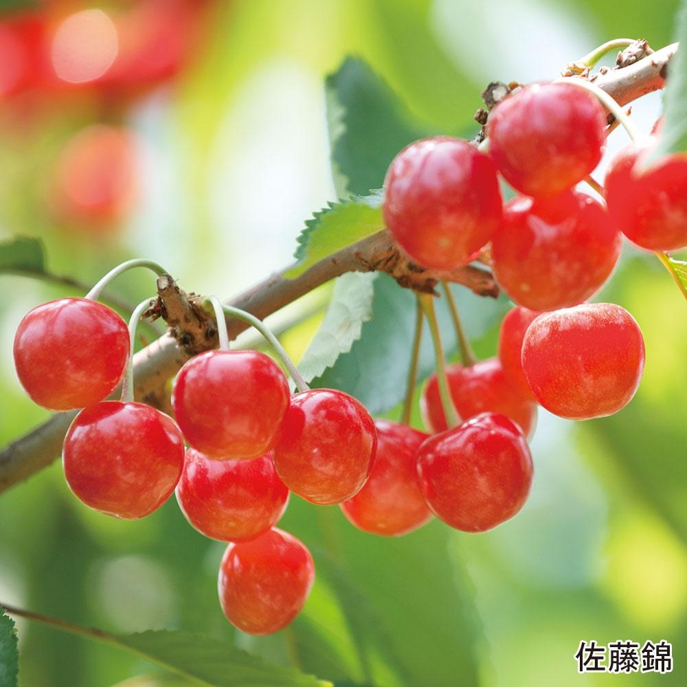 佐藤錦・山形美人L 700g(各350g)(バラ詰)